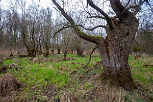 Ancient willow (Salix sp.), refuge for many animals, Willows of Mothern, Alsace, France.  -  Sylvain Cordier