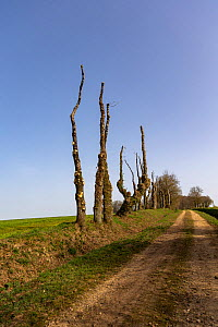Oak trees, just pruned, on an embankment at the edge of a path, Brittany, France.  -  Sylvain Cordier