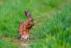 European hare (Lepus europaeus) grooming itself on a path, Oise, France, March.  -  Sylvain Cordier