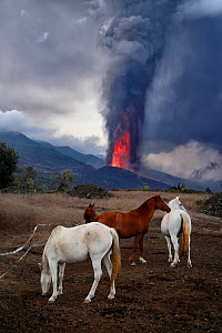 Domestic horses (Equus caballus) with erupting Cumbre Vieja volcano in the background, La Palma, Canary Islands. September 2021.  -  Oriol  Alamany