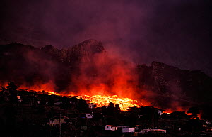 Cumbre Vieja volcano erupting at night, with lava flow destroying houses in El Paso village, La Palma, Canary Islands. September 2021.  -  Oriol  Alamany