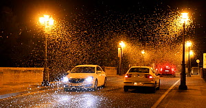 Pale burrower mayfly (Ephoron virgo) swarming in the millions on street at night, appearing like snow with traffic driving through it. Mayflies recently hatched, Tudela, Navarra, Spain, August.  -  Eduardo Blanco