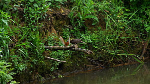 Common kingfisher (Alcedo atthis) perched outside its nest, opening its wings and beak in an aggressive display to a Common blackbird (Turdus merula) which eventually flies away, River Stour, Dorset,...  -  Simon Littlejohn