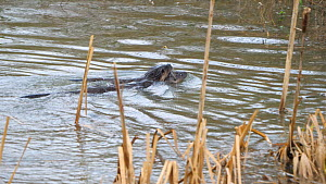 Female European otter (Lutra lutra) rescuing one of her young pups who was washed away by the current, only to have the pup swim straight back into the river as she leaves, River Stour, Dorset, UK, Ja...  -  Simon Littlejohn