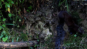 Female American mink (Neogale vison) attempting to enter a Kingfisher (Alcedo atthias) nest from above but it loosing its grip it falls into the river, Stour River, Dorset, UK, July.  -  Simon Littlejohn