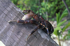 Coconut crab / Robber crab (Birgus latro), the largest terrestrial arthropod on earth, Sulawesi, Indonesia. ^^^Very powerful with vastly strong pincers, it climbs trees and eat coconuts. Considered a...  -  Roberto Rinaldi