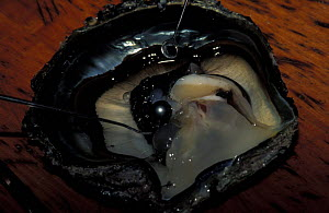 A black pearl sitting in a freshly opened oyster shell. The Polynesian black pearl is created only by the Giant blacklipped oyster (Pinctada margaritifera), which thrives in the Tuamotu lagoons, Frenc... - Roberto Rinaldi