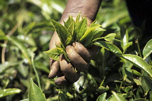 Close-up of hand picking tea leaves (Camellia sinensis) in Kenya, Africa 1995. - Gary John Norman