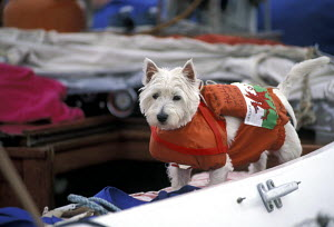 West Highland Terrier (Canis familiaris) wearing a life-jacket on a yacht, with the Welsh flag attached to his back 1996. - Gary John Norman