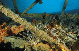 Wreck, now an artificial reef, with sponges, oysters and sea fans. Kudat, Borneo.  -  Roberto Rinaldi