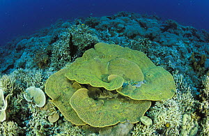 Reef with hard corals. In the foreground a Montipora sp, Lankanyan islands, Sabah, Borneo, Malaysia. - Roberto Rinaldi
