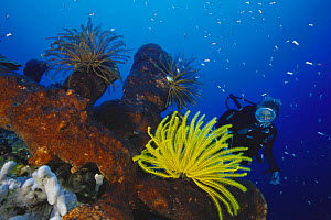 Diver looking at Yellow crinoid feather star on sponge, Walea, Togian Islands, Indonesia. Model released.  -  Roberto Rinaldi
