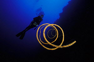 Spiral whip / wire coral (Stichophates sp) and diver, Philippines.  Model released. - Roberto Rinaldi