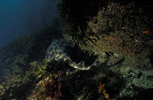 Angelshark (Squatina sp) in kelp forest, California. - Roberto Rinaldi