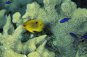 Juvenile threespot damselfish (Stegastes planifrons) and some smaller Blue chromis (Chromis Cyanea) swimming among the blades in a small colony of thin lettuce coral (Agaricia tenuifolia), Lighthouse...  -  Roberto Rinaldi