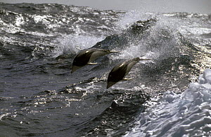 Southern right whale dolphins (Lissodelphis peronii) in the Southern Ocean.  -  Rick Tomlinson