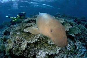 Dugong / Sea cow (Dugong dugong) on reef, with diver in background, Indonesia. Digital composite. - David Fleetham
