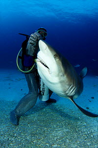 Caribbean reef shark (Carcharhinus perezi), being fed by diver in chain mail suit, Freeport, Bahamas  -  David Fleetham