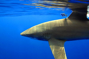 Oceanic whitetip shark (Carcharhinus longimanus), with dorsal fin protruding from sea surface, with pilot fish (Naucrates ductor) accompanying, Hawaii.  -  David Fleetham
