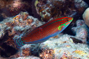 Ornate wrasse (Halichoeres ornatissimus), Hawaii.  -  David Fleetham