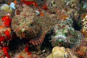 Devil scorpionfish (Scorpaenopsis diabolus), pair resting side-by-side on the reef, camouflaged, Hawaii.  -  David Fleetham