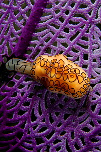 Flamingo tongue (Cyphoma gibbosum), feeding on a gorgonian coral fan, Bahamas - David Fleetham