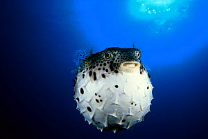 Pacific burrfish (Chilomycterus affinis), inflated in defence of threat, Mexico.  -  David Fleetham
