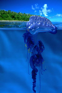 Portuguese man-o'-war (Physalia physalis) found in Hawaii, photographed in an aquarium. Digital composite  -  David Fleetham