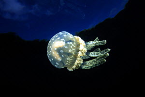 """Stinging Papua jellyfish (Mastigias papua) in inland saltwater """"lake"""" that was connected through a channel to the open ocean, Palau, Micronesia.  -  David Fleetham"""