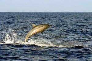 Spinner dolphin (Stenella longirostris) jumping, with circular scar from cookie cutter shark on underside and small remora fish attached beside wound, Hawaii.  -  David Fleetham