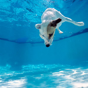 Jack Russell dog (Canis familiaris) diving into a swimming pool 1999.  -  Gary John Norman