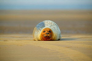 Common seal (Phoca vitulina) lying on the beach, Margate Sands, England, UK.  -  Barry Bland