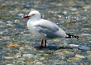 Red-billed gull (Chroicocephalus scopulinus) standing in shallow water, New Zealand.  -  Barry Bland