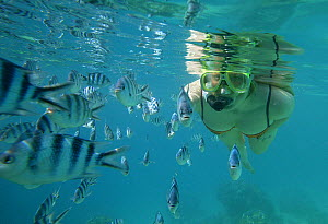 Woman snorkelling among Sergeant major fish (Abudefduf saxatilis) fish, Blue Lagoon, Tevawa, Fiji. Model Released.  -  Barry Bland