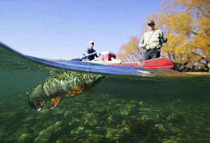 Drift fishing for rainbow trout (Oncorhynchus mykiss), Clutha River, Wanaka, New Zealand.  -  Barry Bland