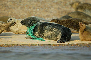 Grey seal (Halichoerus grypus), with a fishing net caught around its neck. Blakney Point, Norfolk, UK.  -  Barry Bland