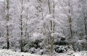 Snow covered birch trees in early January. Aviemore, Cairngorms, Highlands, Scotland. - Ian Cameron