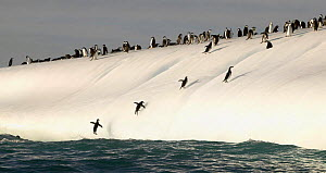 Chinstrap penguins (Pygoscelis antarctica) jumping out of the water onto iceberg to rejoin the colony, South Georgia Island, March 2003.  -  Onne van der Wal