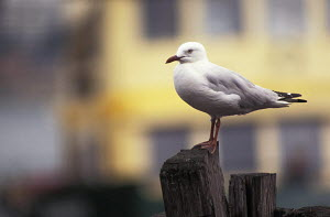 Silver gull (Chroicocephalus novaehollandiae) on a wooden mooring post in Sydney harbour, with the yellow and green livery of a Sydney harbour ferry behind. Sydney harbour, New South Wales, Australia. - Ian Cameron