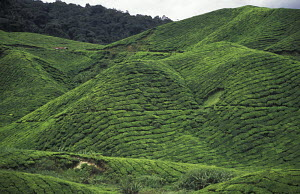 Close-cropped tea plants (Camellia sinensis) on the Boh Tea estate, Cameron highlands, Malaysia, South East Asia. - Ian Cameron