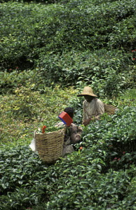 Labourers picking tea leaves (Camellia sinensis), equipped with boxed-in shears and wicker backets. Boh tea estates in The Cameron Highlands, Malaysia, South East Asia. - Ian Cameron