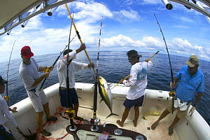 Fishing for yellow fin tuna (Thunnus albacare), two men holding one over the deck on spears, Guatemala.  -  Onne van der Wal