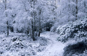 Path through birch trees in the snow. January in Aviemore, Cairngorms, Highlands, Scotland. - Ian Cameron