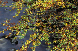 Beech tree in autumn, speckled with green, yellow and brown, overhanging the River Findhorn. Logie Steading, Forres, Moray, Scotland,  -  Ian Cameron