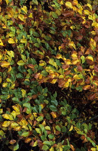 Beech tree in autumn, speckled with green, yellow and brown. Logie Steading, Forres, Moray, Scotland,  -  Ian Cameron