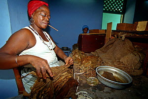 Woman working in a cigar factory in Pinar Del Rio, a small town about 50 Km from Havana, Cuba.  -  Angelo Giampiccolo