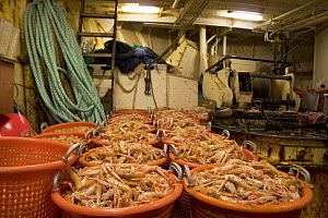 North Sea prawns processed and ready to be stowed below in the fish-hold aboard a fishing vessel.  -  Philip Stephen