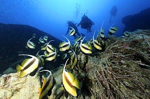 "School of Red sea bannerfish (Heniochus intermedius) and divers on wreck of the SS ""Thistlegorm"", Straits of Gubal, Northern Red Sea.  -  Angelo Giampiccolo"