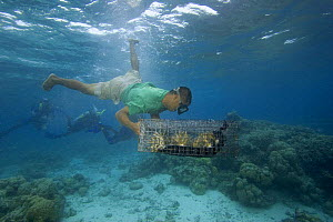 Free diver dropping coral on a reef just below the surface of the water in Palau, Micronesia, for coral propagation. Model released.  -  David Fleetham