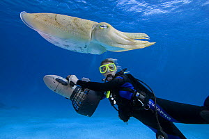 Common cuttlefish (Sepia officinalis), with diver being propelled along with an underwater scooter behind, Palau, Micronesia. Cuttlefish are predatory carnivorous cephalopods related to squid and octo...  -  David Fleetham